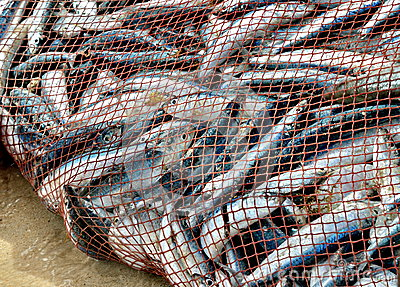 net-full-fish-nice-catch-26514505